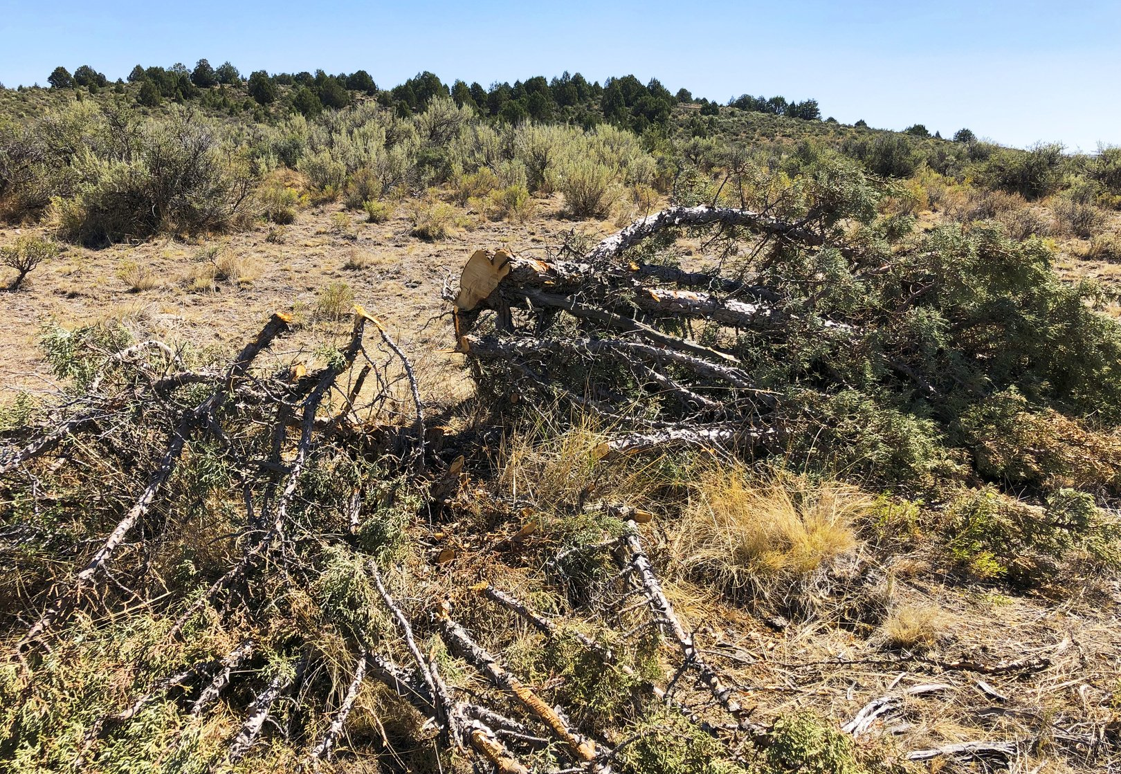 Massive tree-cutting project could aid imperiled sage grouse