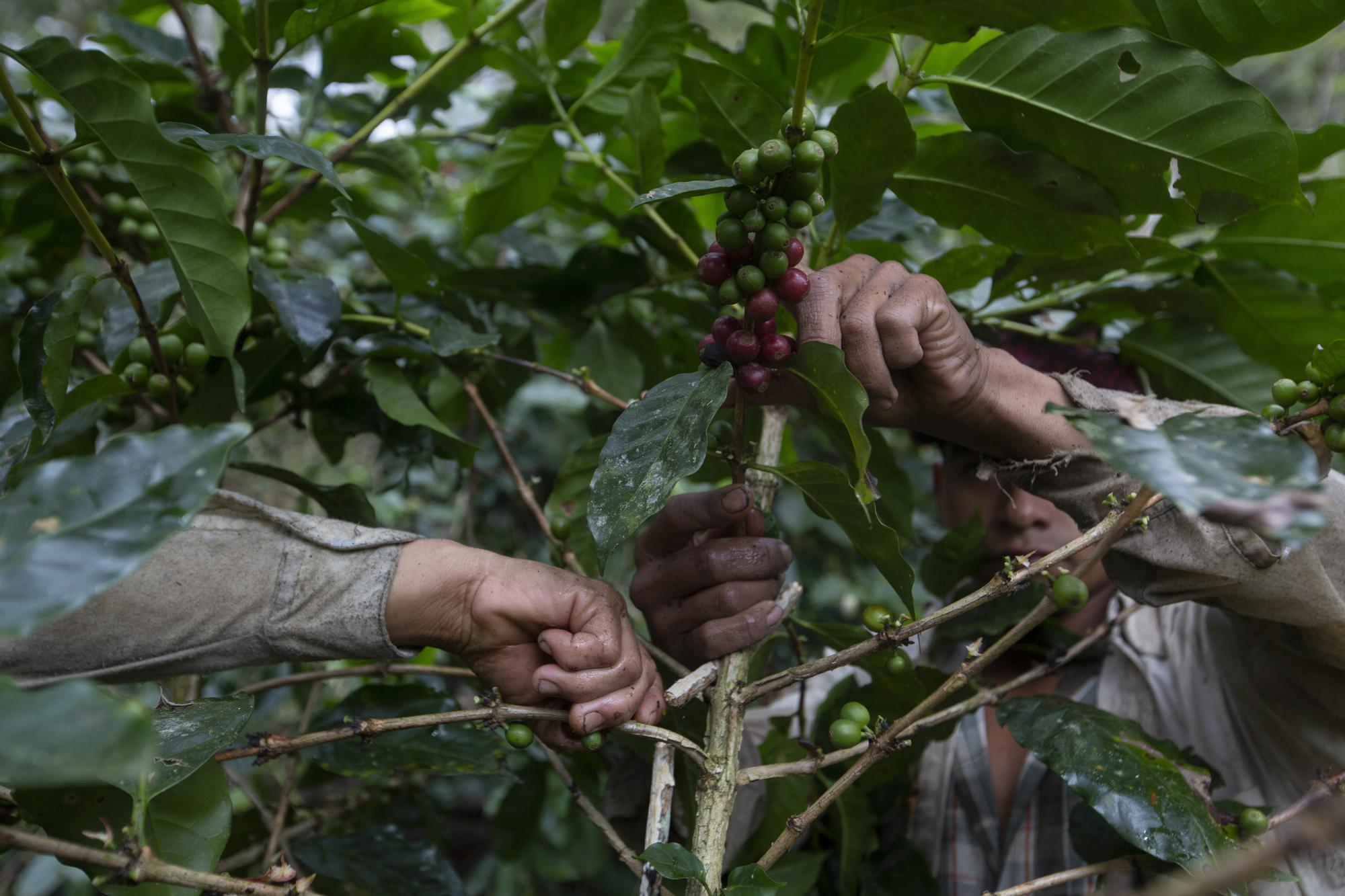 Workers pick coffee, the main source of income in the area of Tizamarte, Guatemala, Wednesday, Dec. 9, 2020. A picker makes about $8 per sack harvested and can usually fill one or two per day. (AP Photo/Moises Castillo)