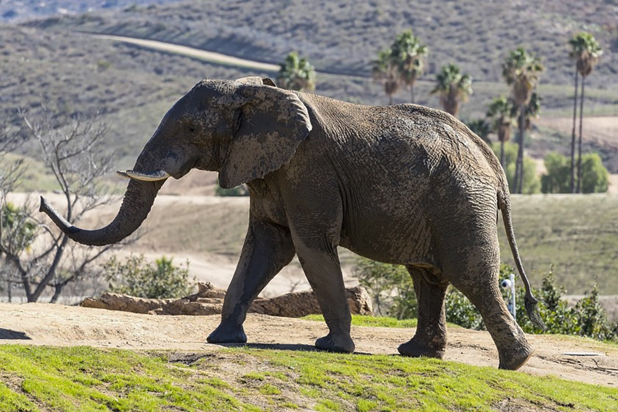 Msholo the African elephant leaves San Diego for Atlanta