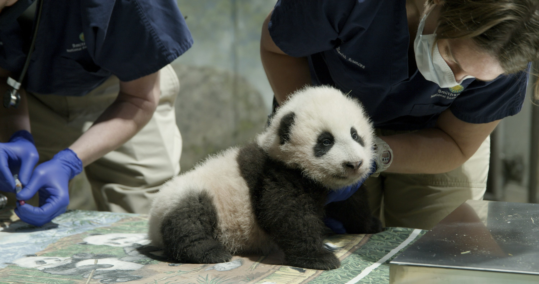 National Zoo panda cub named Xiao Qi Ji or 'Little Miracle'