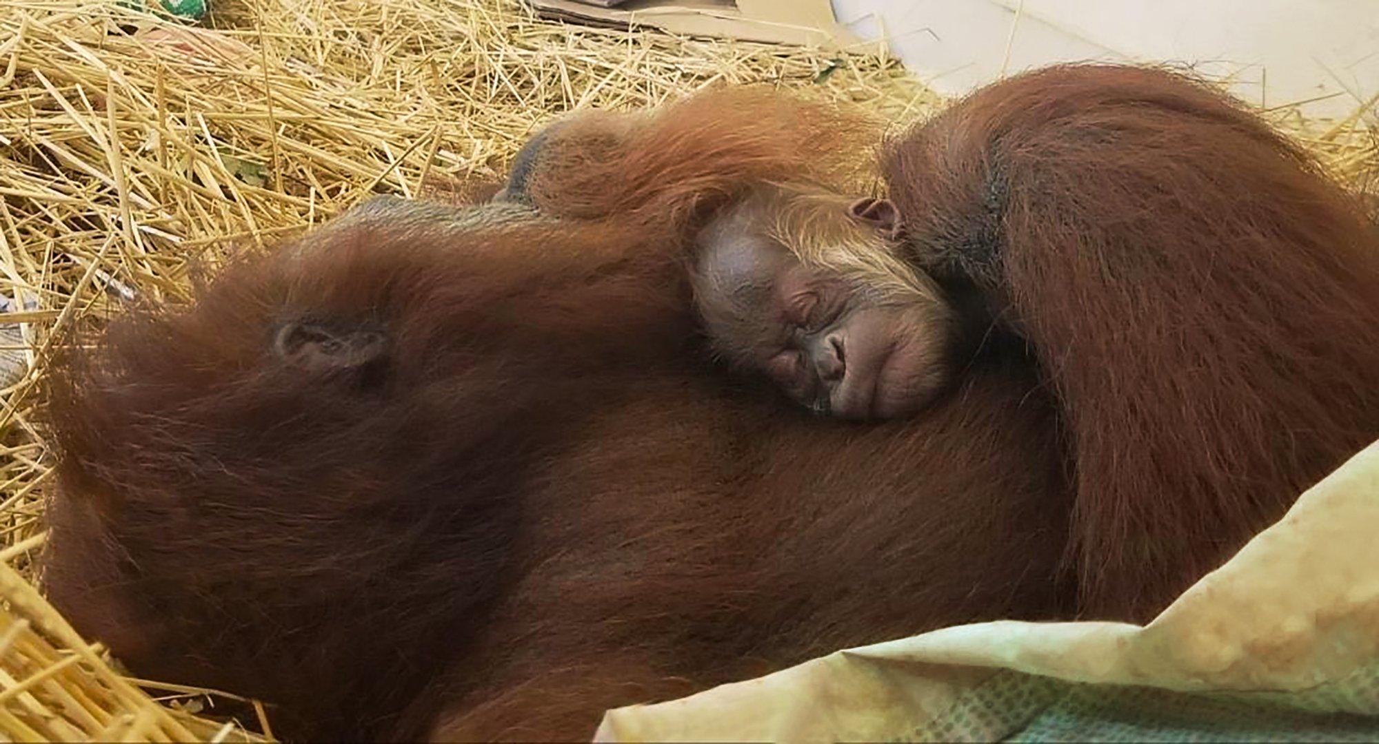 It's an orangutan! Endangered species born at Audubon Zoo