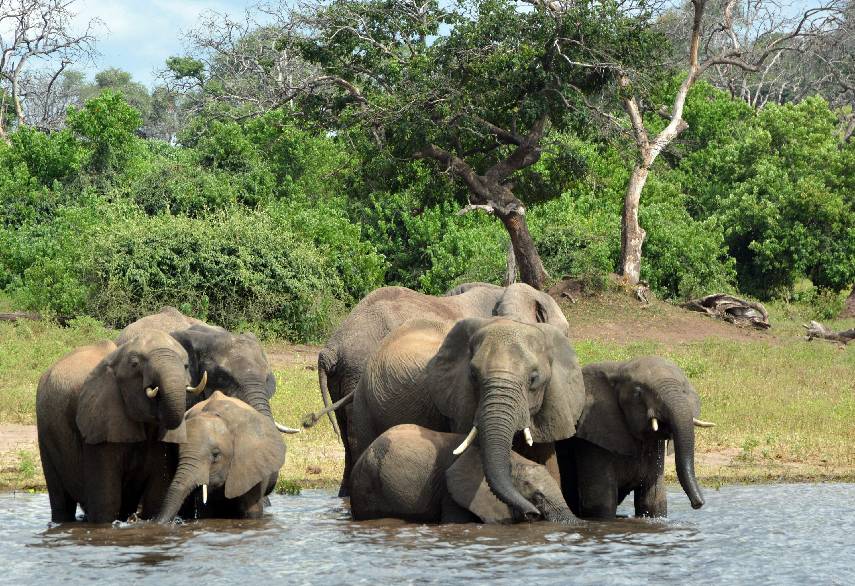330 elephants in Botswana may have died from toxic algae