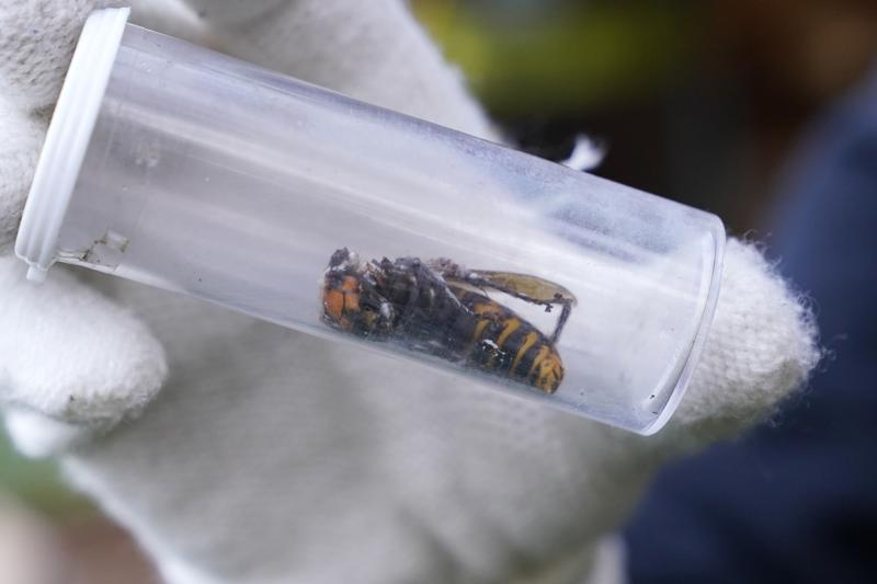 Washington State has First Live Sighting of a 'Murder Hornet' in 2021