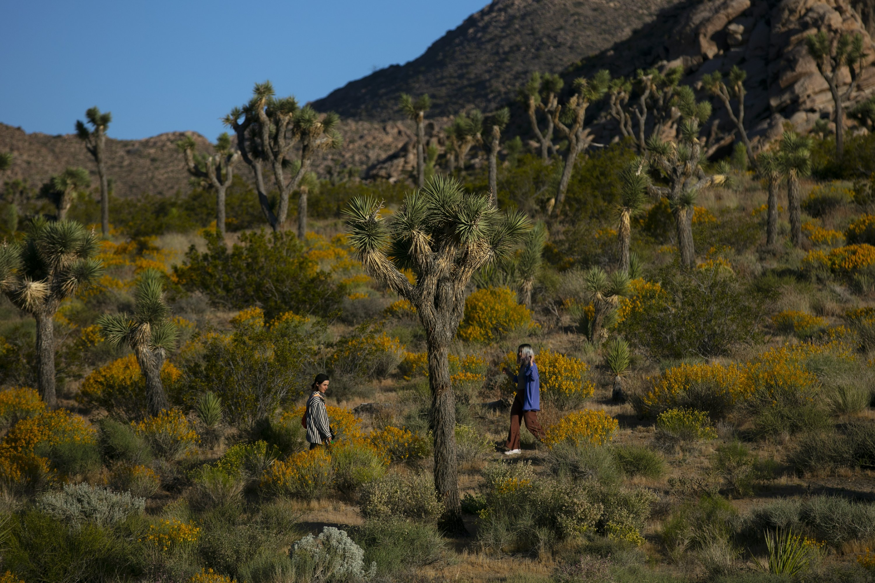 California accepts petition to protect western Joshua tree