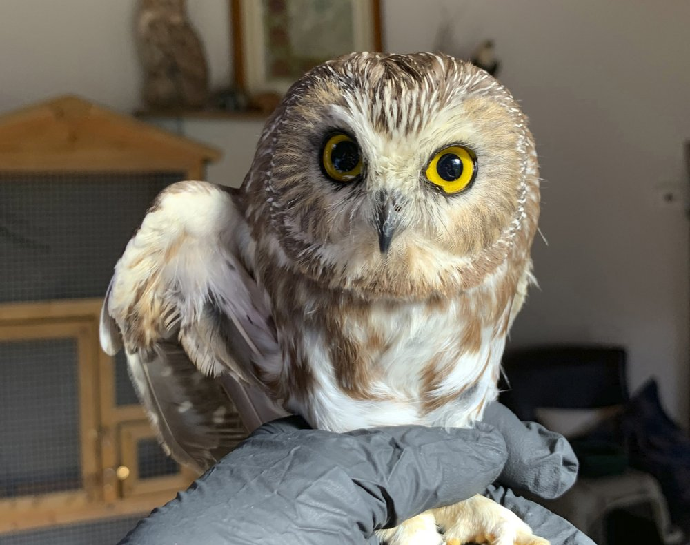Rocky the Rockefeller Christmas tree stowaway owl is returned to the wild