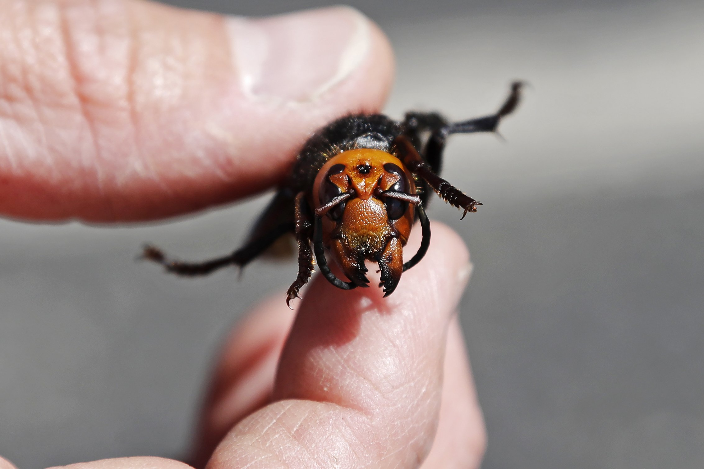 Another Asian giant hornet found in northwestern Washington