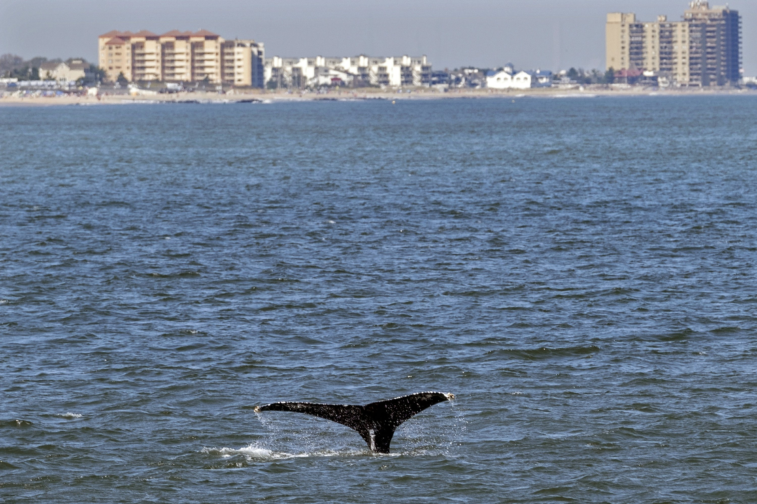 young-whales-looking-to-dine-flock-to-waters-off-nyc