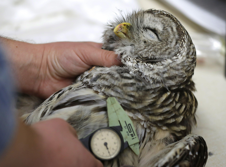 US owl-killing experiment raises thorny questions