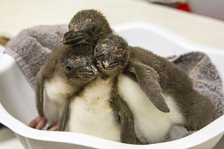 8 macaroni penguins hatch at Kansas City Zoo