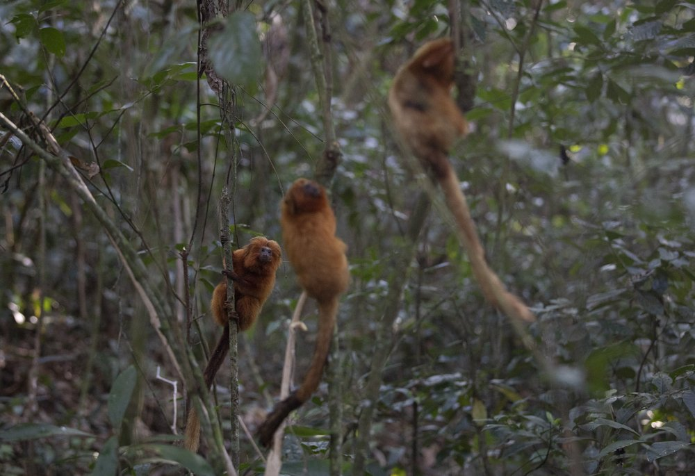 Some of the monkeys, which weigh about a half kilogram (a pound), can be seen clinging to the trees beyond in the forest beyond.