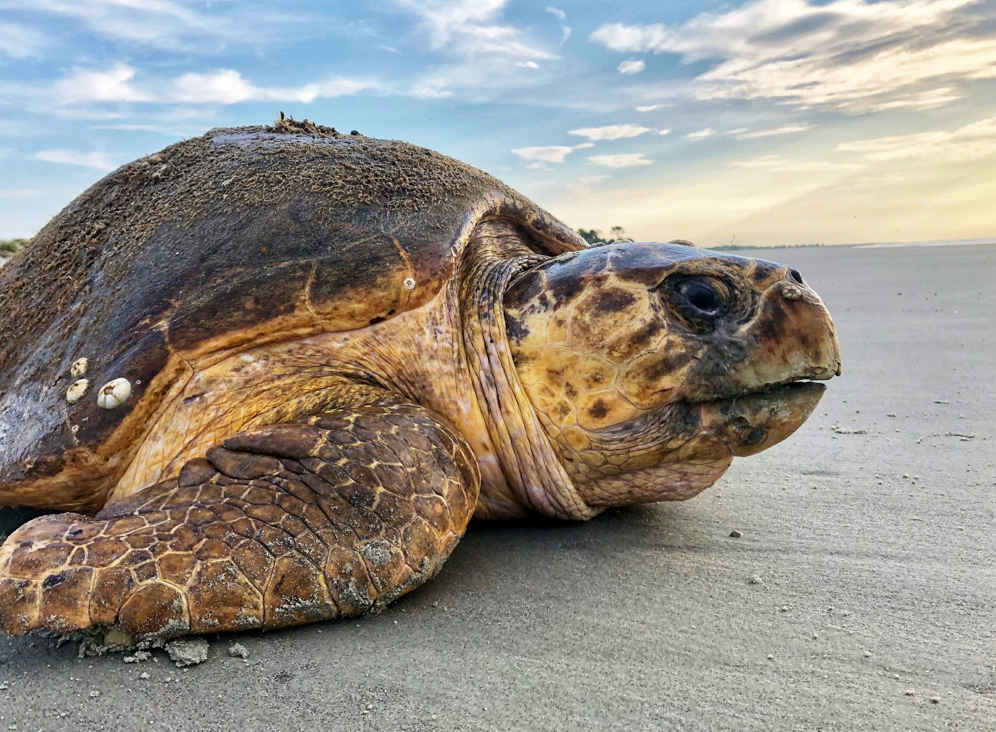 Rare sea turtles smash nesting records in Georgia, Carolinas