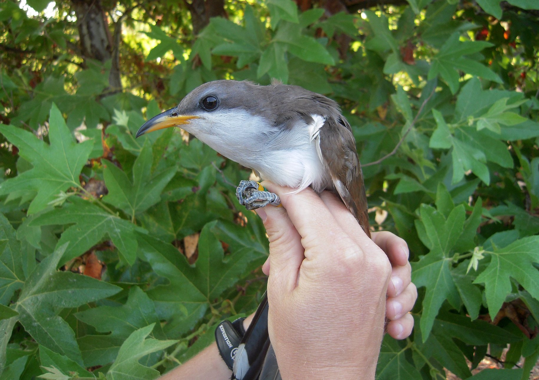 US identifies habitat critical for survival of rare songbird