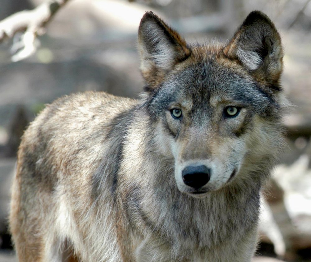 Pushed by Republican lawmakers and conservative hunting groups, US states look to step up number of wolf kills