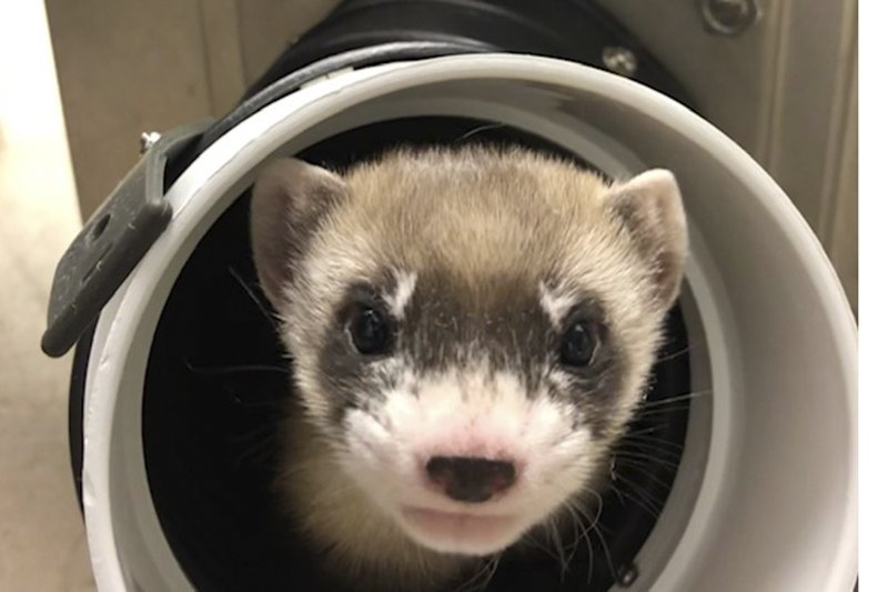 1st Clone Of Us Endangered Species A Ferret Announced