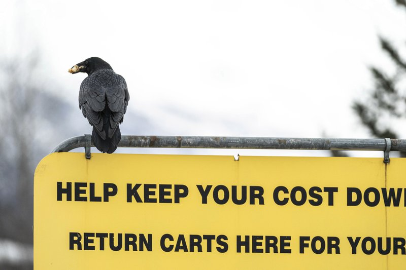 Some Alaska Costco shoppers say ravens steal their groceries in the store parking lot; additional raven thief sightings reported on social media