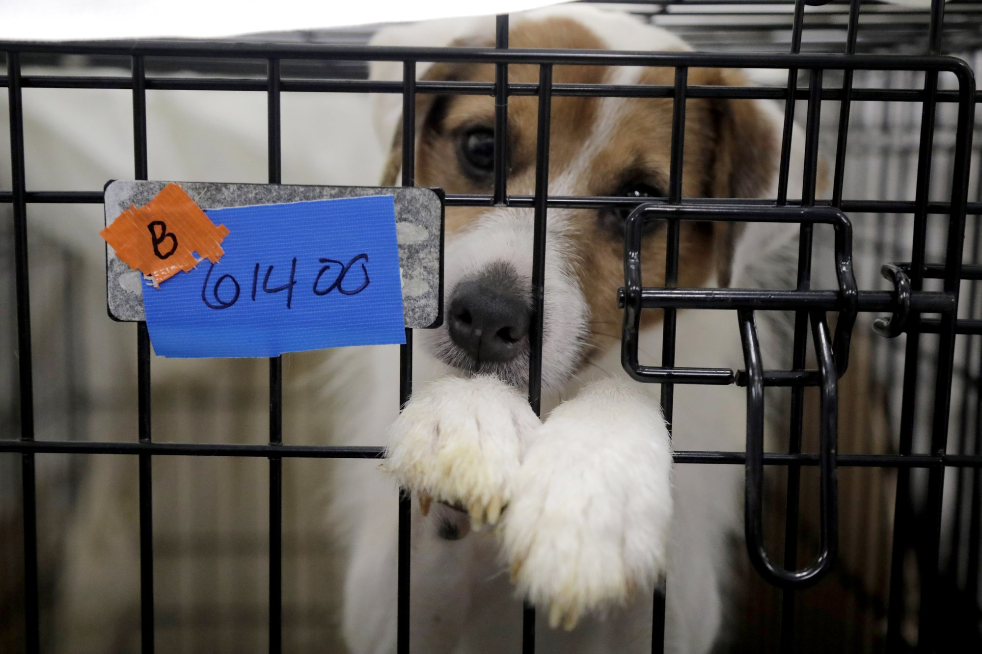 Some of nearly 200 rescued dogs almost ready for adoption