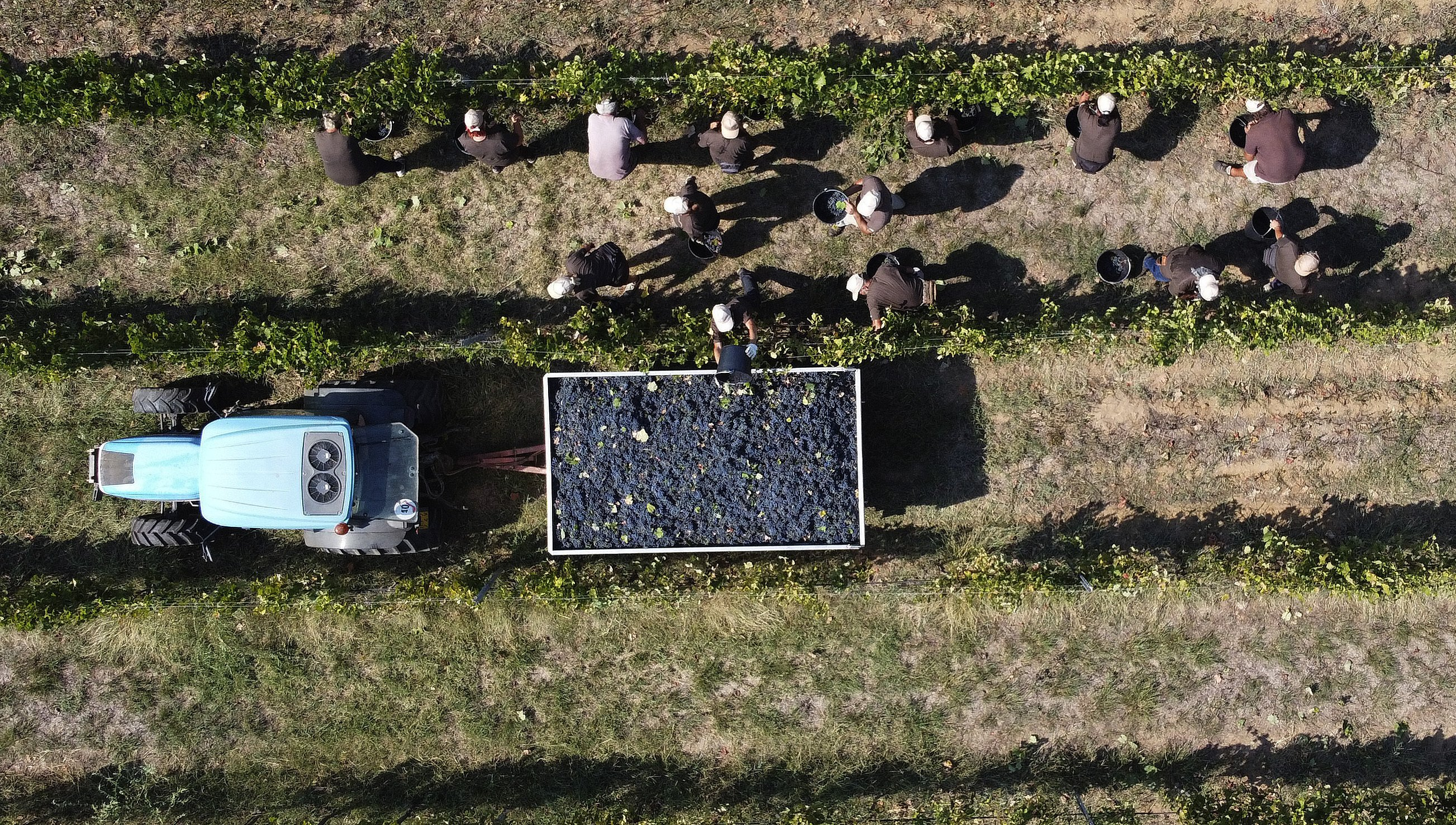 AP PHOTOS: Italian grape harvest plows on through pandemic