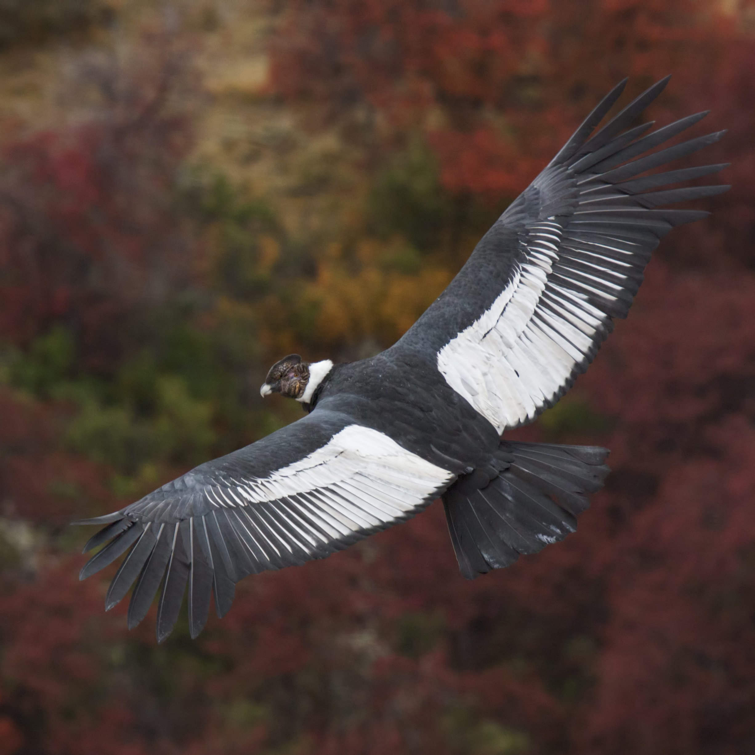 Fly Without Flapping Andean Condors Surf Air 99 Of Time
