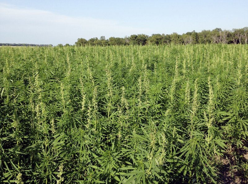 State, federal laws now allow Arizona farmers to grow hemp