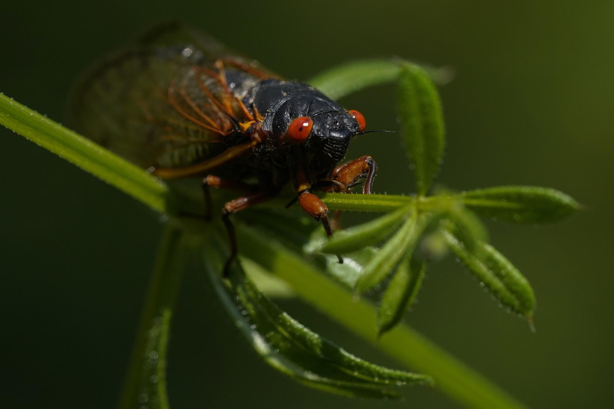 An adult cicada moves along in Washington, Wednesday, May 12, 2021. (AP Photo/Carolyn Kaster)