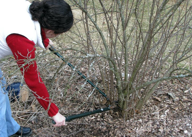 March Is A Great Time To Prune Many Shrubs But Not All