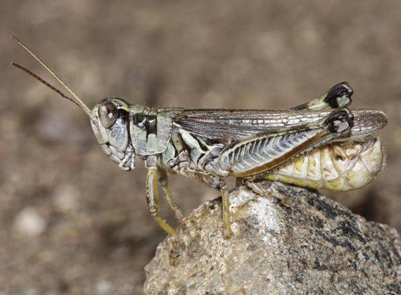 Western Drought Brings Plague of Hungry Grasshoppers