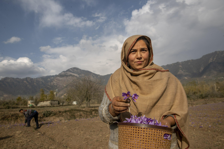 AP PHOTOS: From a flower in Kashmir comes a precious spice
