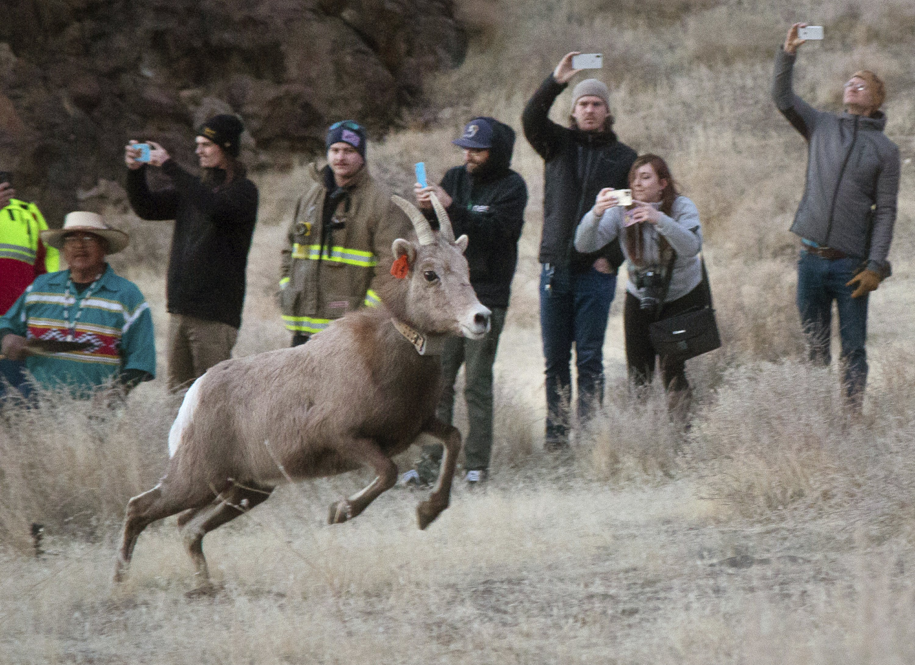 Bighorn Sheep Return To Nevada Lake After Nearly 100 Years