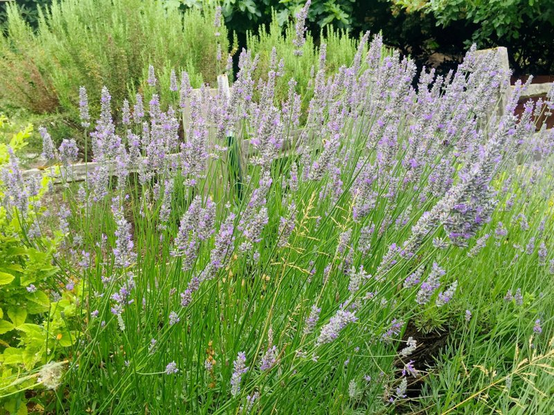 Some Common Garden Plants Might Help Keep Bugs Away