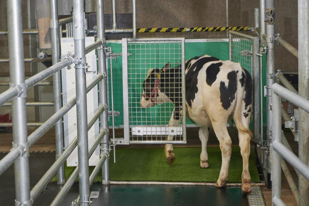 Una vaca entra a una jaula especial donde ha sido entrenada a orinar, como parte de un experimento que busca reducir los desechos de los animales en el medio ambiente. Foto sin fecha, suministrada por el Instituto de Biología Animal de Dummerstorf, Alemania, en septiembre del 2021.  (Thomas Häntzschel/FBN via AP)