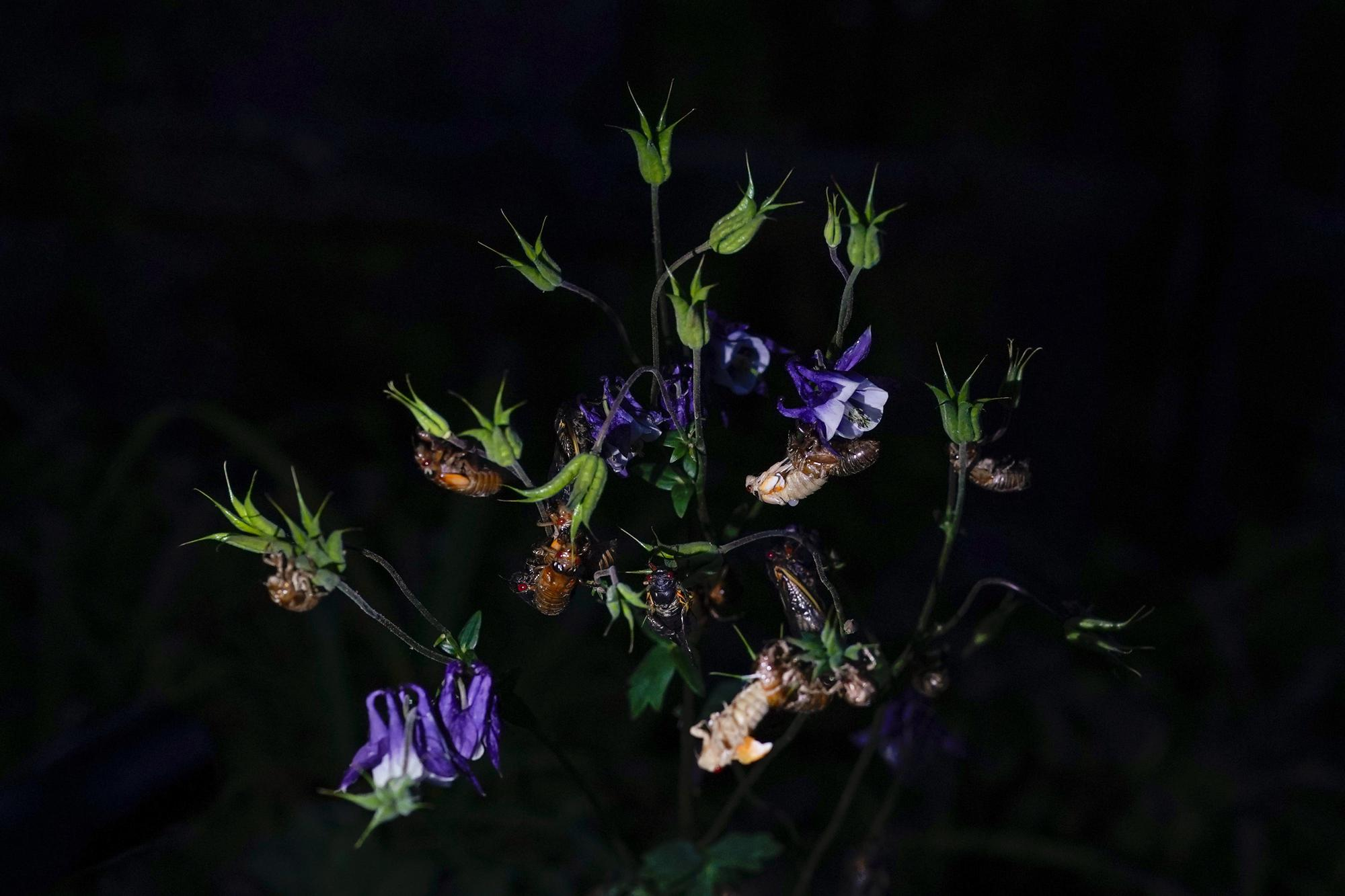 Cicadas, adults and nymphs shedding their shells cling to a flowering plant in a Columbia, Md., garden, Monday, May 17, 2021. (AP Photo/Carolyn Kaster)
