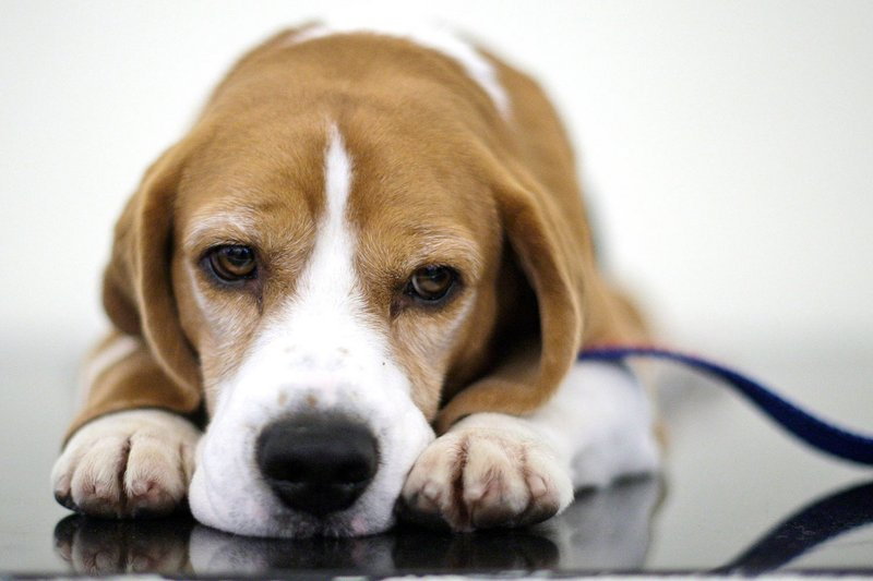 Uno the beagle, winner of Best in Show at the 132nd Westminster Kennel Club Dog Show looks on before a fundraiser for Angel on a Leash, a therapy dog organization, Saturday, Feb. 13, 2010  in New York. Competition in the 134th Westminster Kennel Club Dog Show will take place Feb. 15 and 16 at Madison Square Garden. (AP Photo/Frank Franklin II)