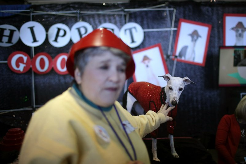 A Whippet stands in its booth during the meet the breeds companion event to the Westminster Kennel Club Dog Show on Saturday, Feb. 9, 2019, in New York. (AP Photo/Wong Maye-E)