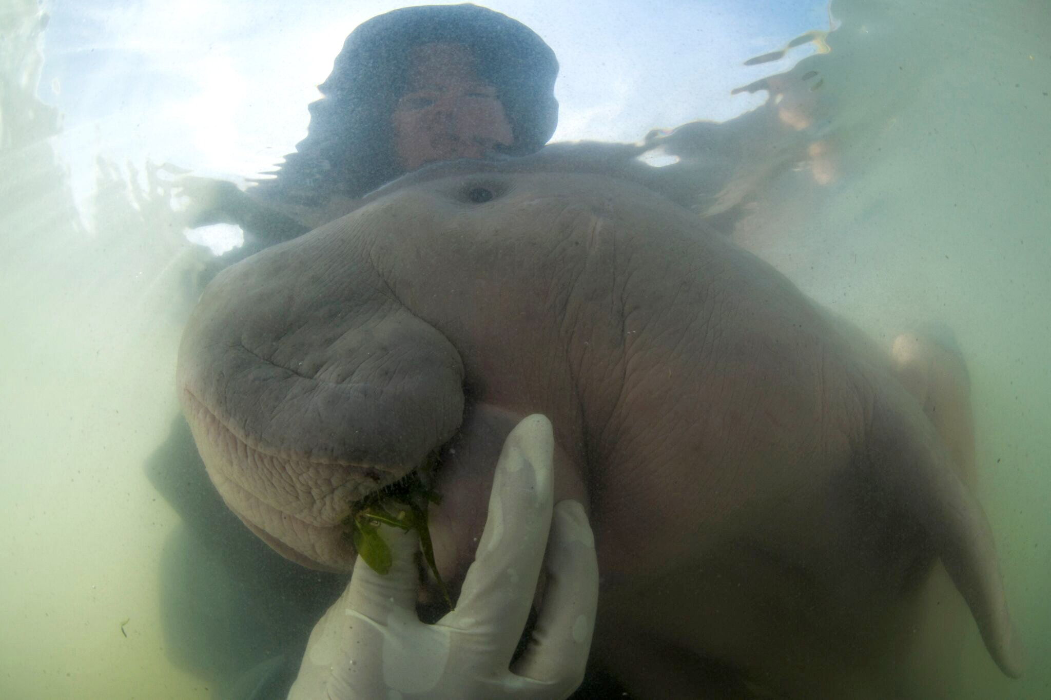 Thailand's lost baby dugong dies from shock, eating plastic