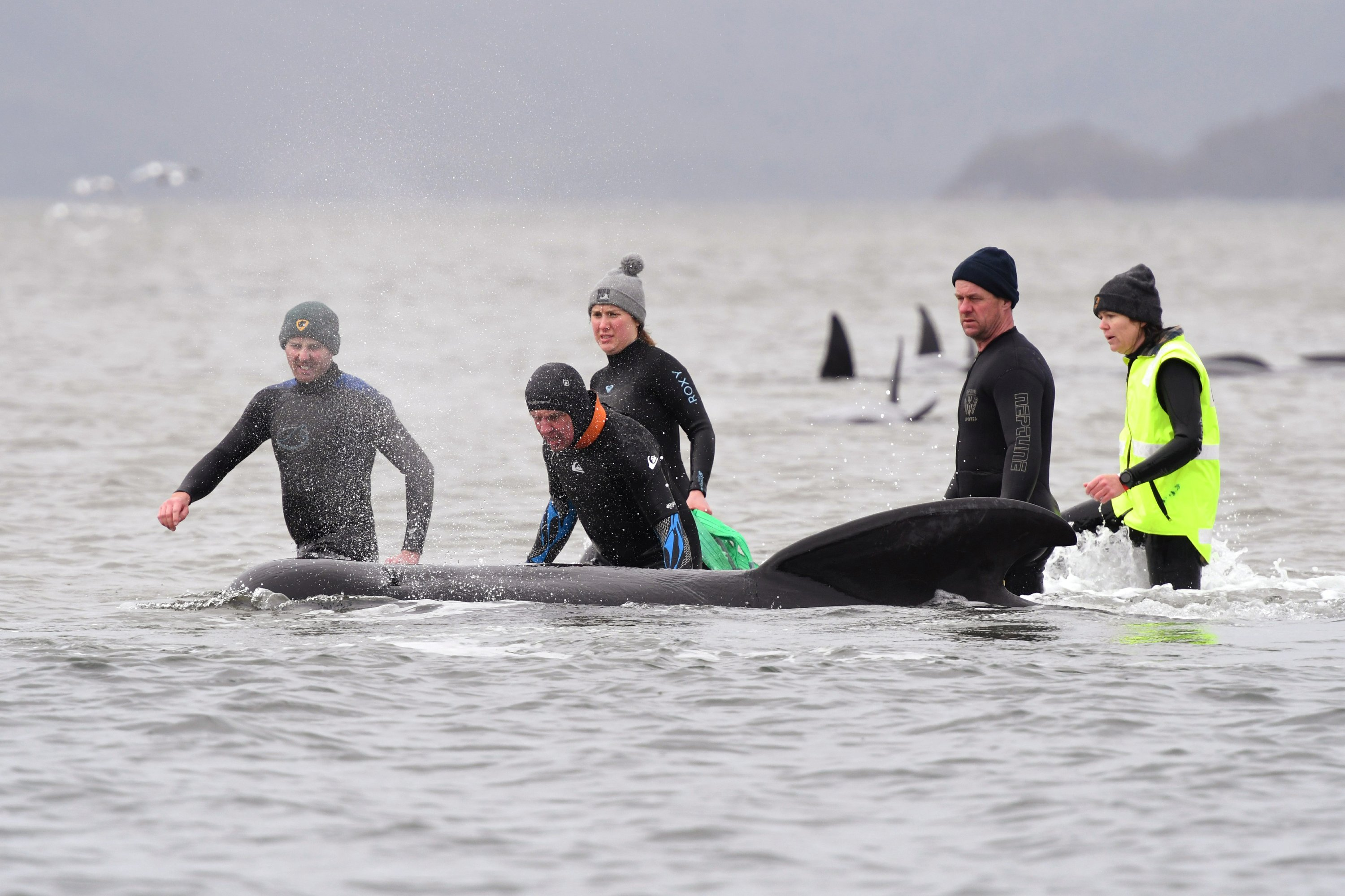 Almost 500 pilot whales stranded in Australian island state