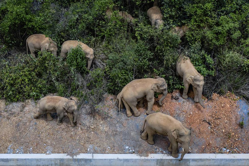 Herd of 15 Elephants Headed to China's City of Kunming After Walking 300 Miles from Nature