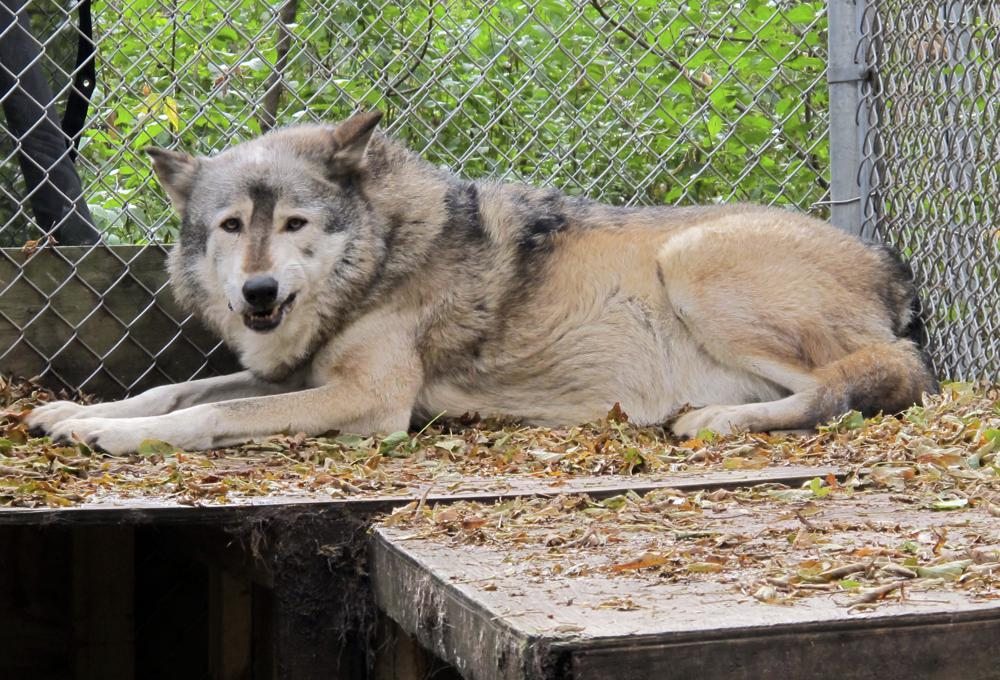 Animal Rights Groups File Lawsuit to Stop Wisconsin's Wolf Hunt