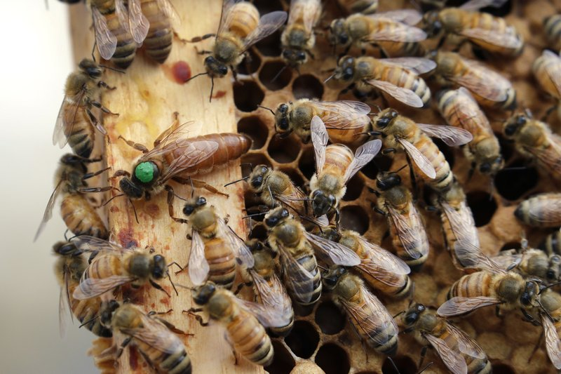 FILE - In this Aug. 7, 2019, file photo, the queen bee (marked in green) and worker bees move around a hive at the Veterans Affairs in Manchester, N.H. The annual survey released Monday, June 22, 2020, of U.S. beekeepers found that honeybee colonies are doing better after a bad year. Monday's survey found winter losses were lower than normal, the second smallest in 14 years of records. (AP Photo/Elise Amendola, File)
