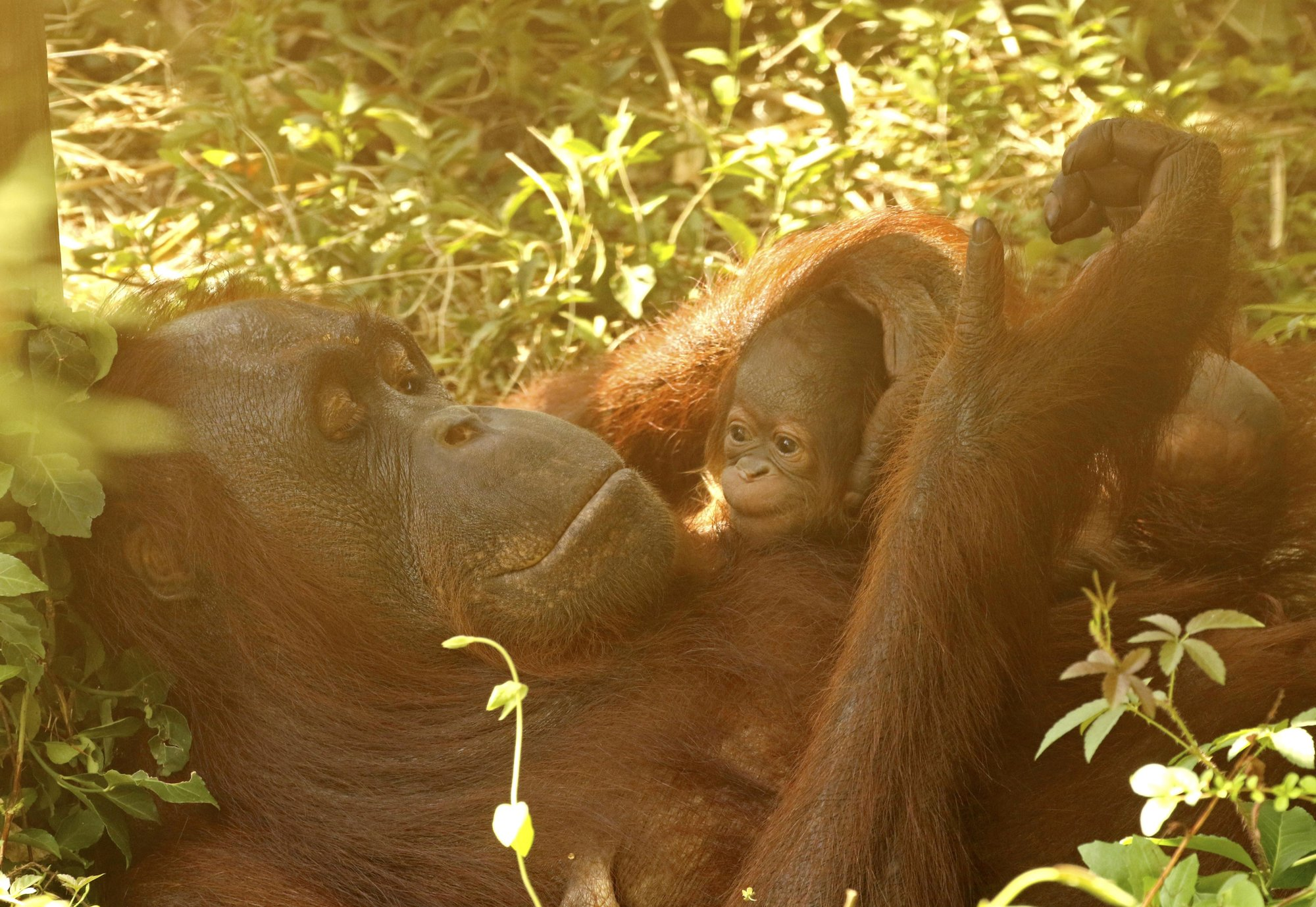 Baby orangutan born at Little Rock Zoo