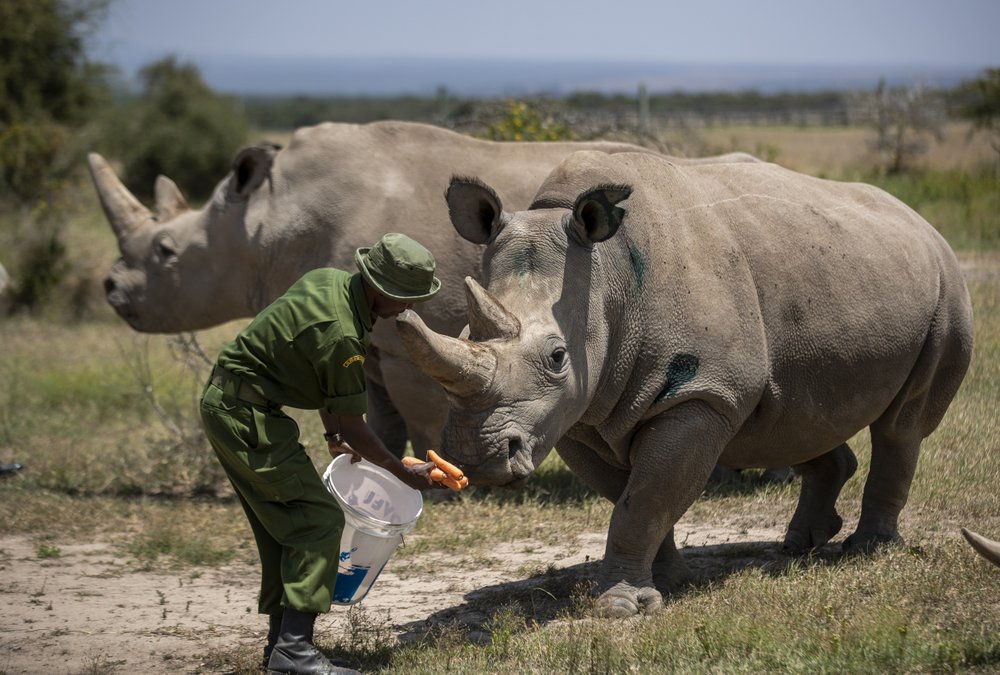 Work to keep alive the nearly extinct northern white rhino subspecies by in-vitro fertilization has been stalled by travel restrictions due to the coronavirus plague