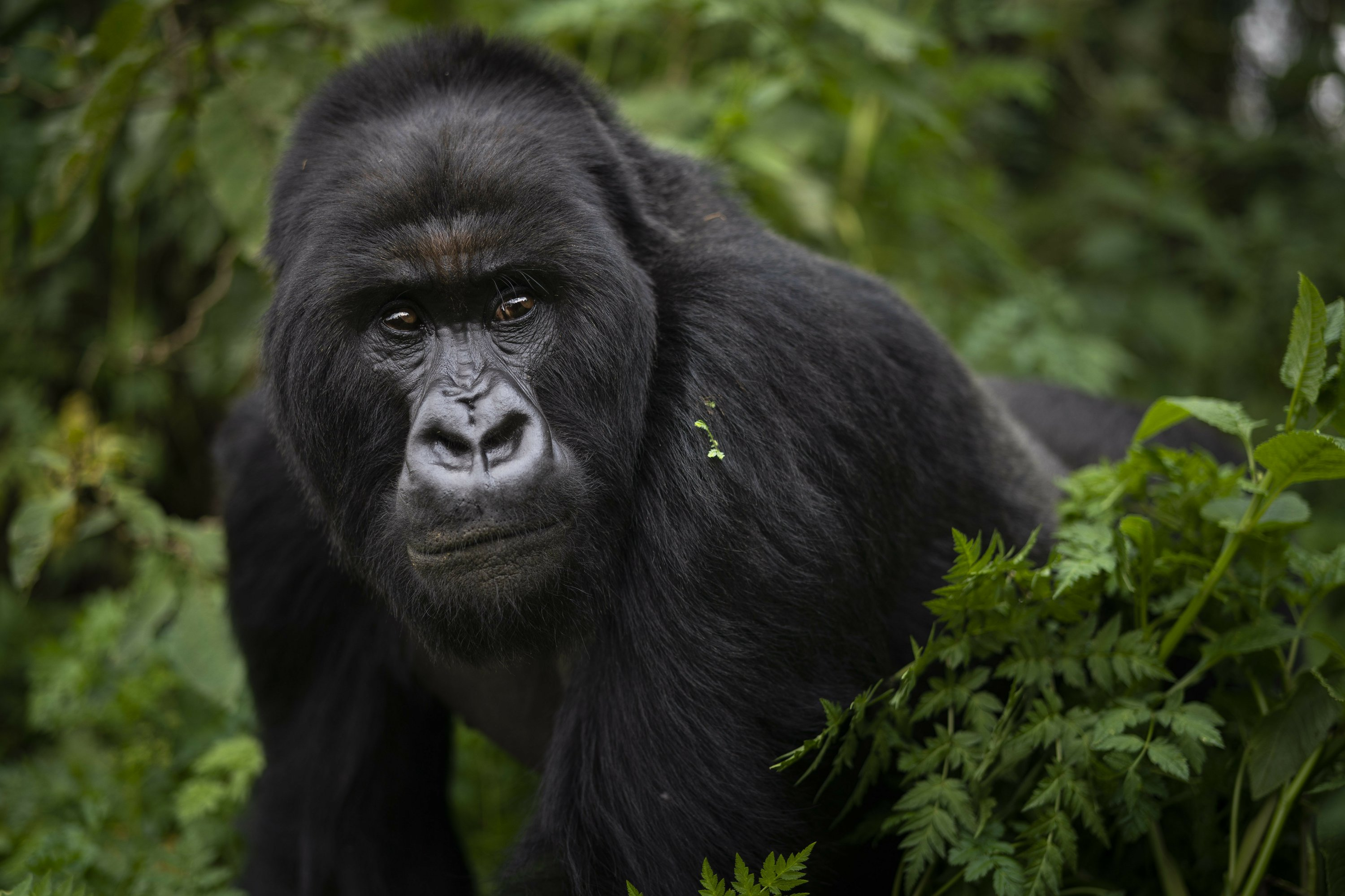 Intense monitoring and care lift mountain gorilla numbers