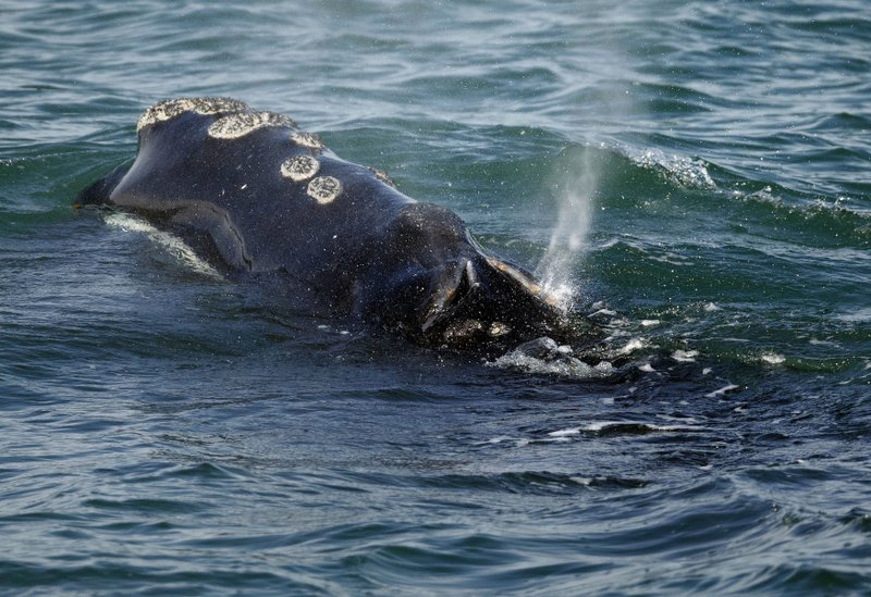 Changes to lobster fishery to help whales might arrive 2021