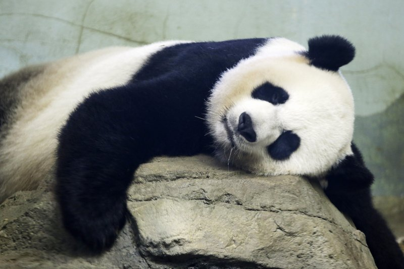 Giant panda matriarch Mei Ziang could give birth this week