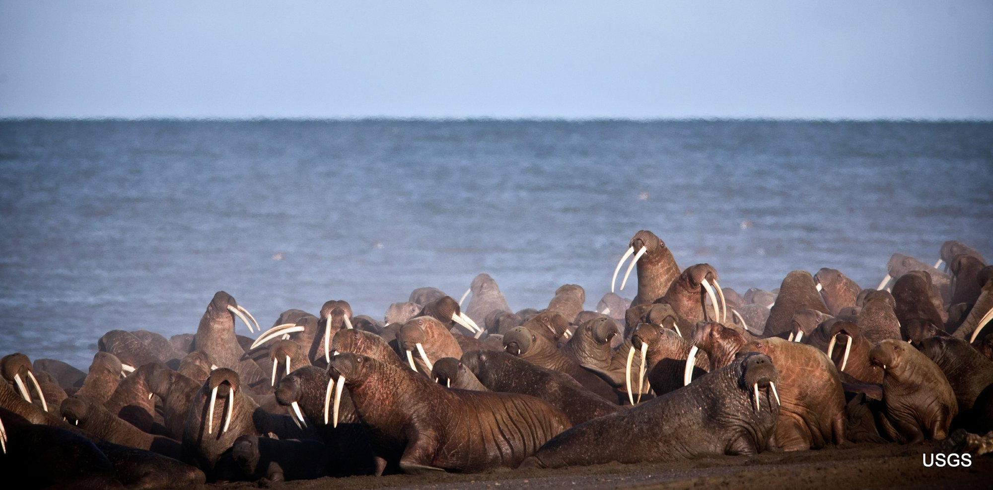 Walruses appear early on Alaska shore as sea ice recedes