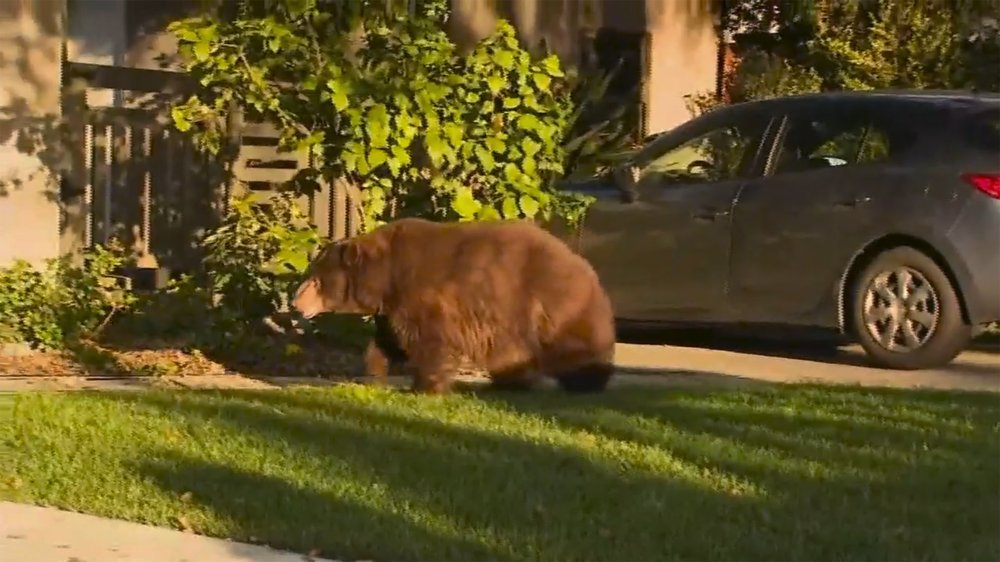 Bear that wandered yards near Los Angeles moved to forest