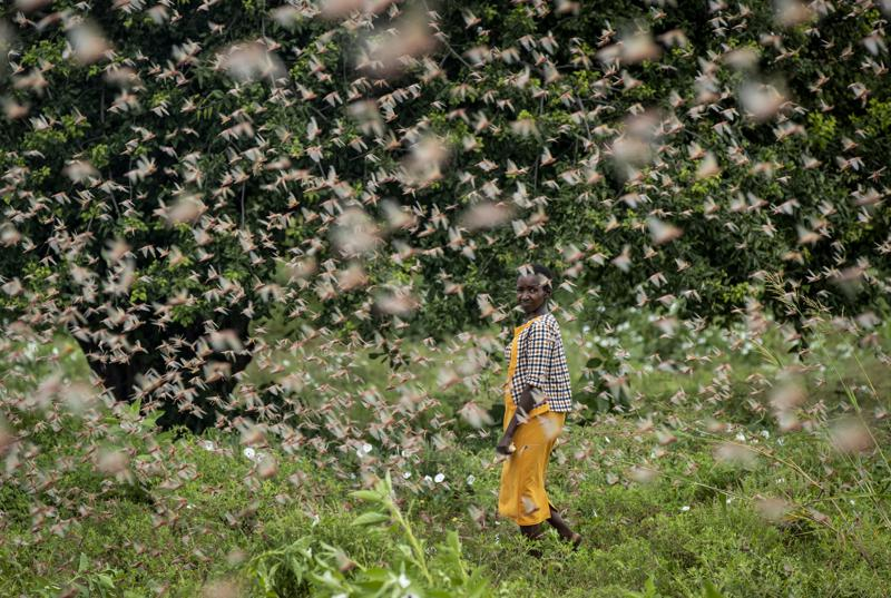 Climate Change Fueling Locust Outbreaks in East Africa