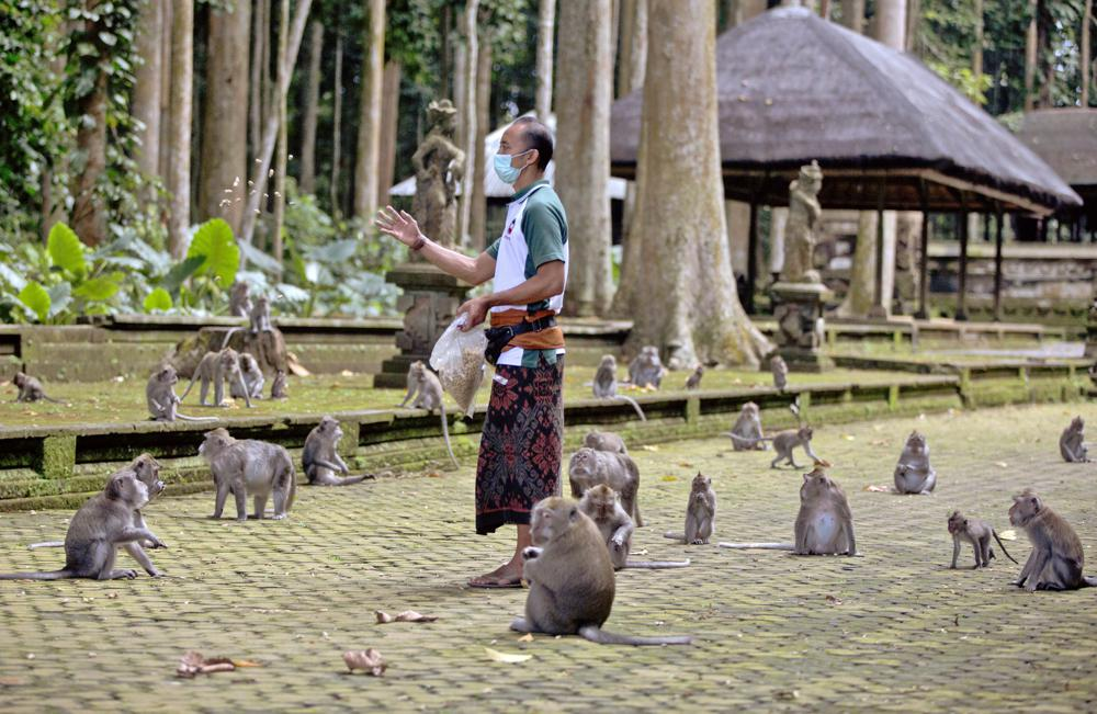 Made Mohon, the operation manager of Sangeh Monkey Forest, feeds macaques with donated peanuts during a feeding time at the popular tourist attraction site in Sangeh, Bali Island, Indonesia, Wednesday, Sept. 1, 2021. Deprived of their preferred food source - the bananas, peanuts and other goodies brought in by the tourists now kept away by the coronavirus - hungry monkeys on the resort island of Bali have taken to raiding villagers' homes in the search for something tasty. (AP Photo/Firdia Lisnawati)
