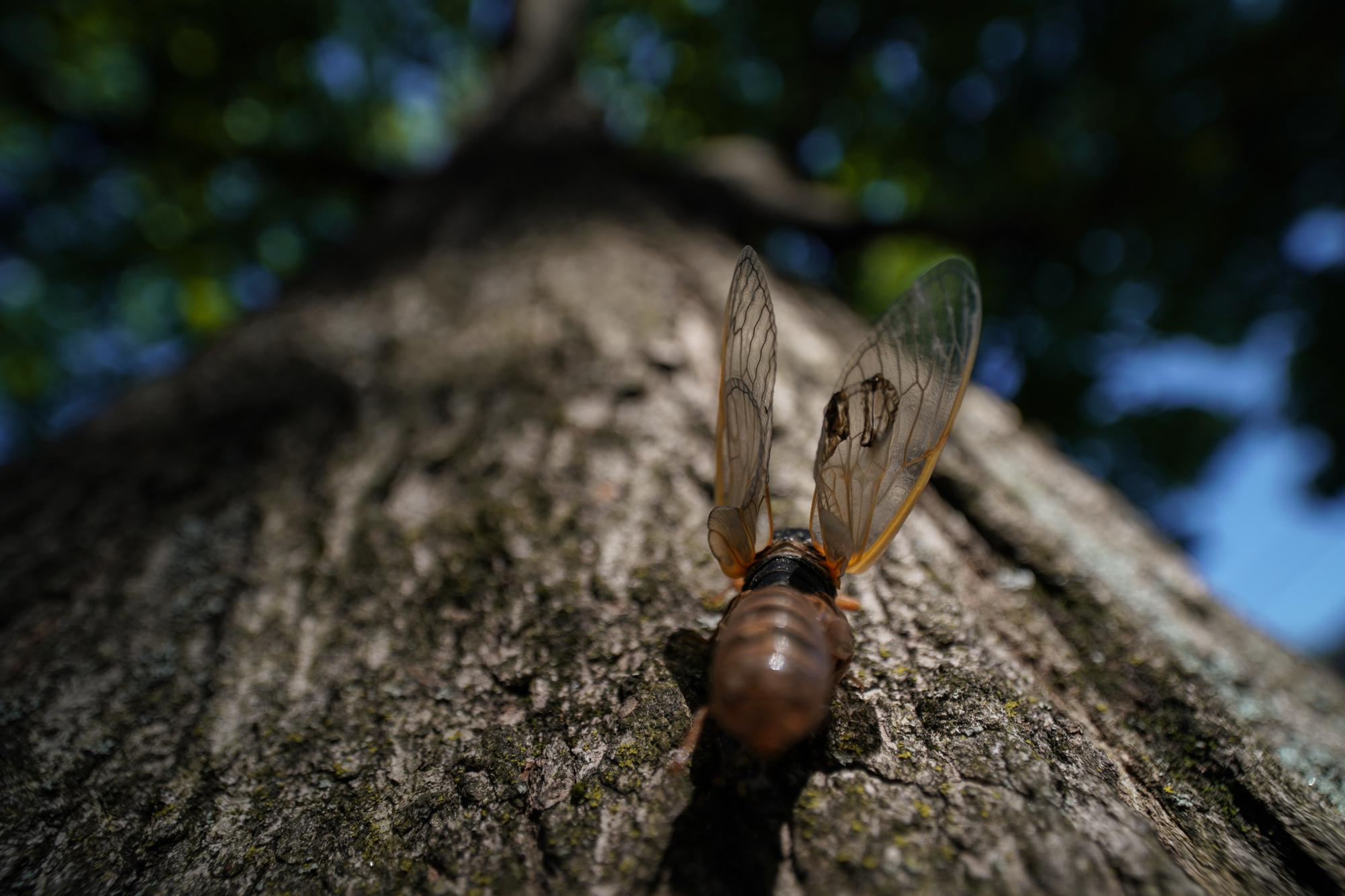 A cicada that failed to completely shed its nymph shell spreads its wings on a the base of a tree in Chevy Chase, Md., Monday, May 10, 2021. (AP Photo/Carolyn Kaster)