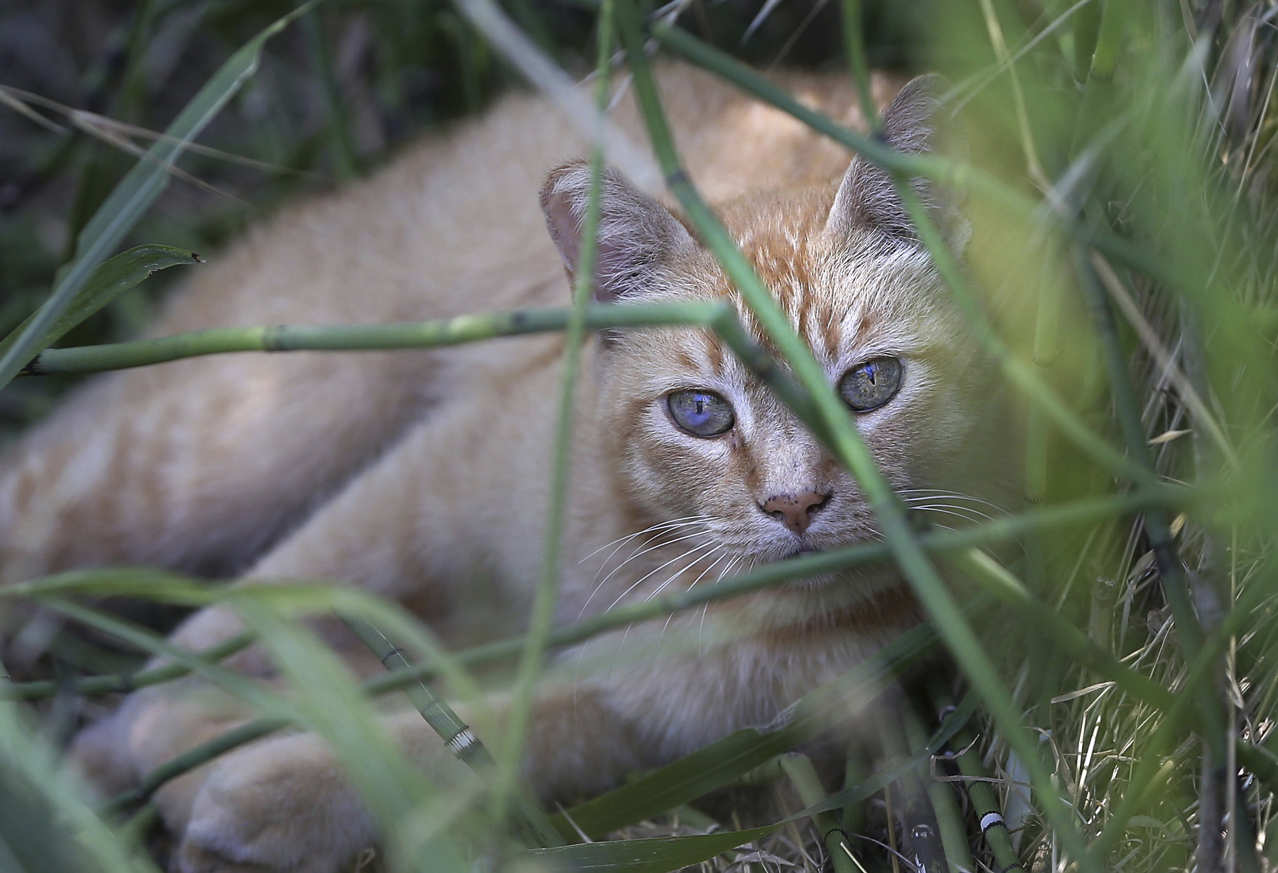 Feral cats make Western Governor's list of invasive species
