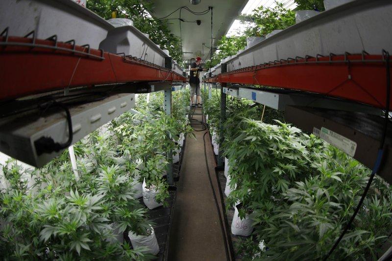 Marijuana grow room, Colorado Harvest Company